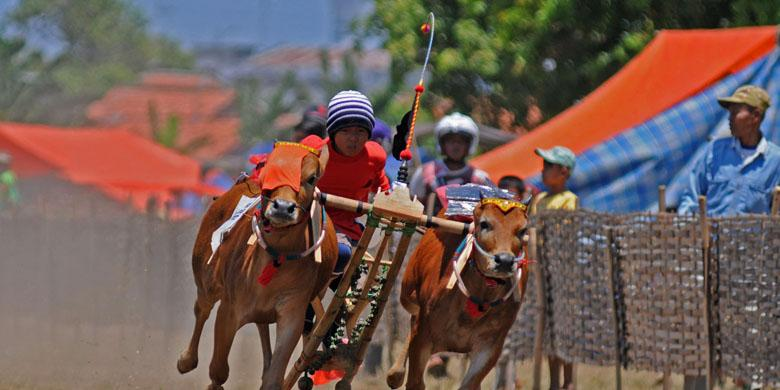 Tradisi Joki Cilik Karapan Sapi Lumajang Jawa Timur