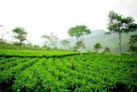 Tempat Libur Lebaran Agrowisata Perkebunan Teh Kaligua Brebes